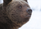 Bear portrait 2