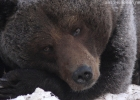 Bear portrait 3
