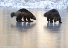 Wolverines playing on ice