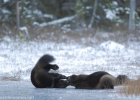 Play fighting of Wolverines